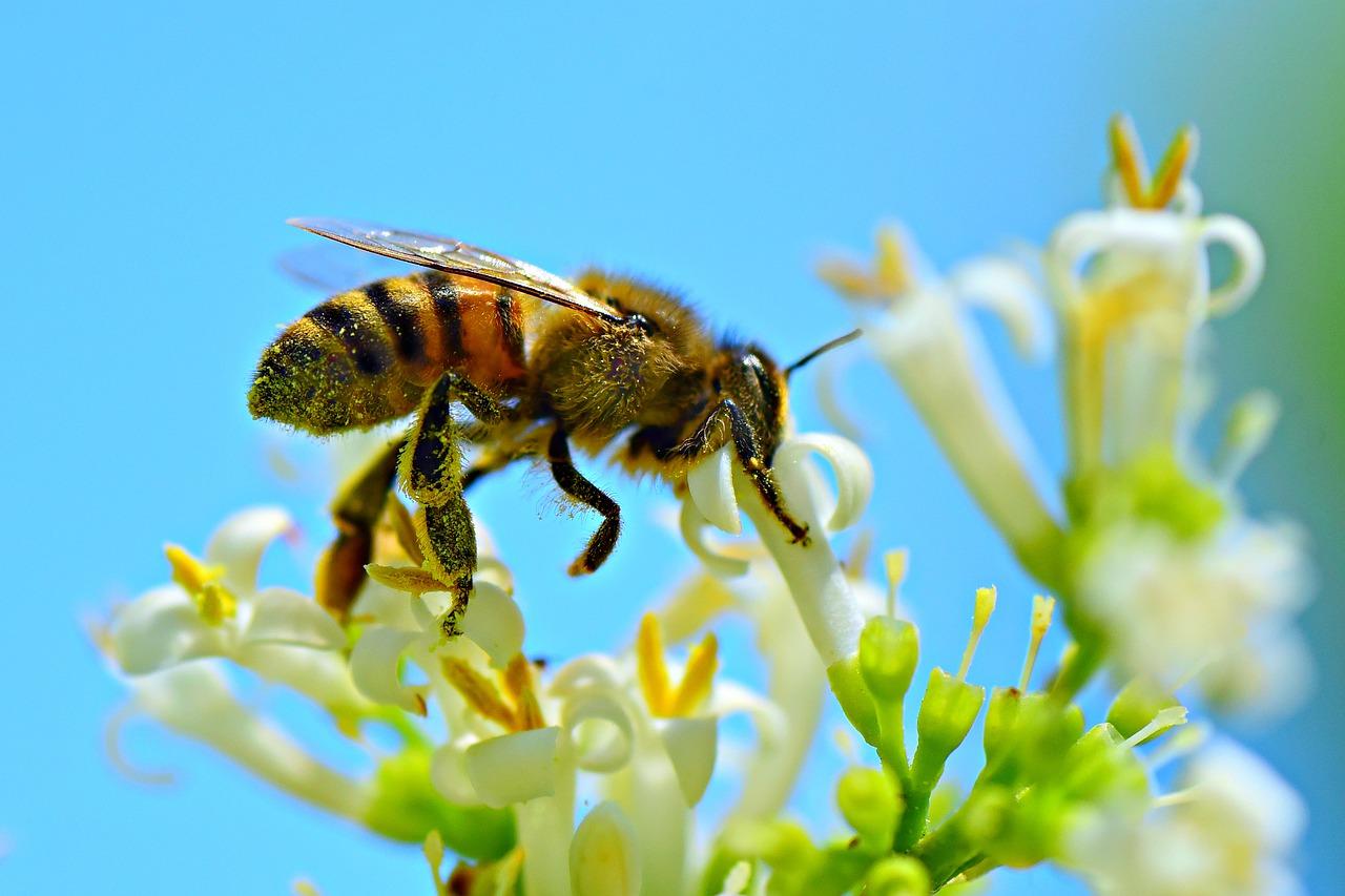 durée de vie d'une abeille